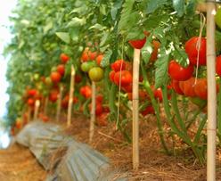 Kỹ thuật chồng cây cà chua cho năng suất cao